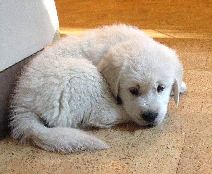 diarree bij pup