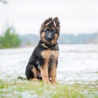 Geschiedenis van de Duitse herdershond
