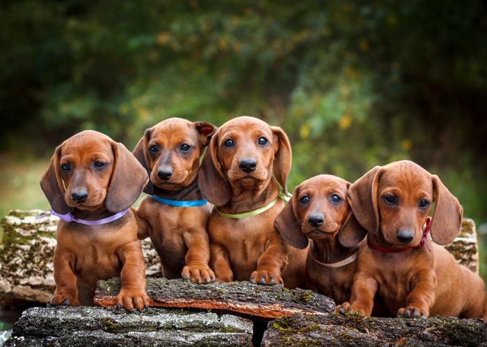 algemene informatie over de dachshund of teckel