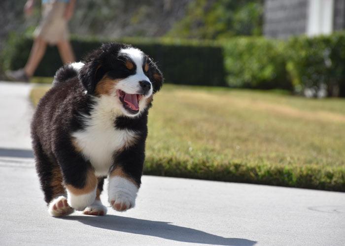 Berner sennenhond: Een introductie