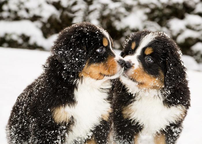 algemene informatie over de Berner sennenhond