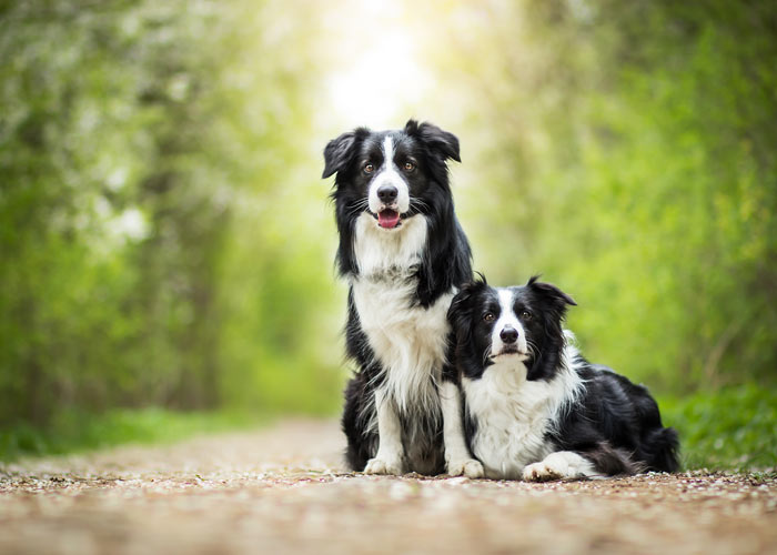 De border collie rasvereniging