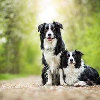 rasvereniging voor de border collie