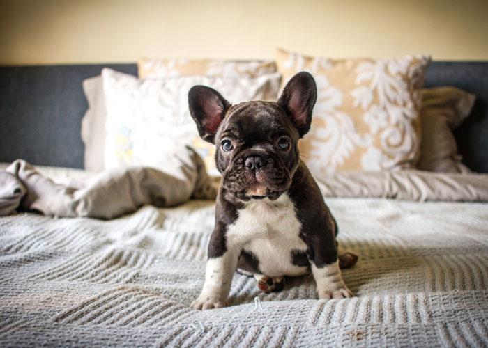 de kosten voor aanschaf en onderhoud van een Franse bulldog puppy