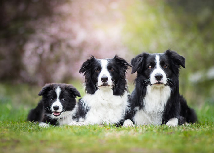 Border collies introductie