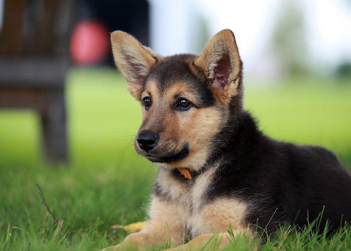 Alles over de Duitse herdershond