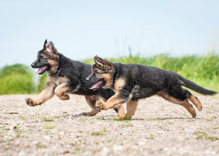 De Duitse herder is een actieve hond met een groot uithoudingsvermogen