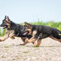 Fysieke en mentale uitdagingen van de Duitse herdershond