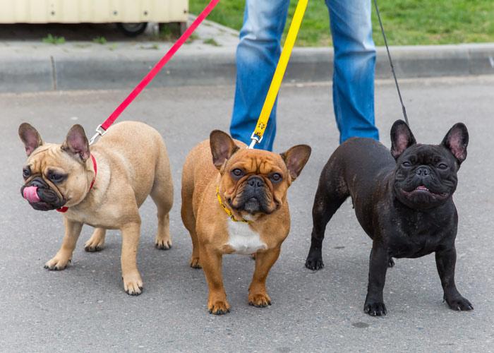 Franse bulldog uitlaten / wandelen