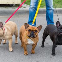 Franse bulldog uitlaten