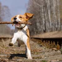 Fysieke en mentale uitdaging voor beagles