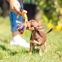 Fysieke en mentale uitdagingen voor een chihuahua