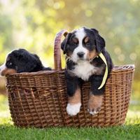 Het opvoeden van Berner sennen puppy's