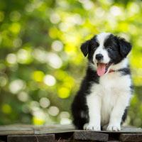 Het opvoeden van een border collie pup