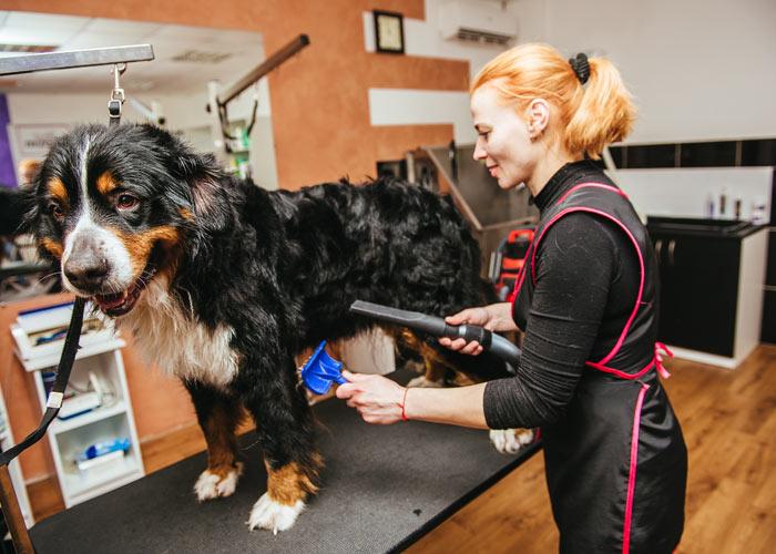 Het verzorgen van een Berner sennenhond