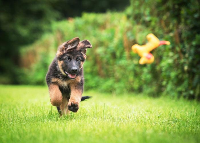 De karaktereigenschappen van de Duitse herdershond