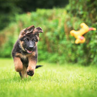 karaktertrekken van de Duitse herdershond