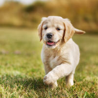 aanschaf en kosten golden retriever