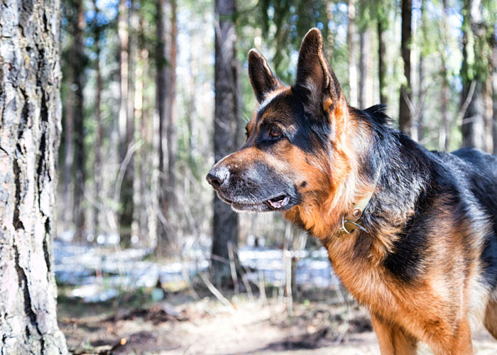Opvoeding van een Duitse herder puppy