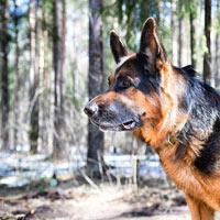 Duitse herdershond puppies opvoeden