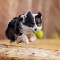 Rennende border collie