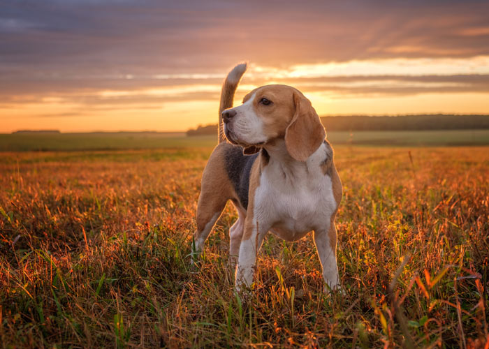 beagle puppy's - algemene informatie