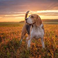 Zorgdragen voor een beagle