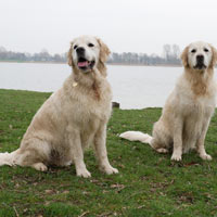 voortplanting golden retriever