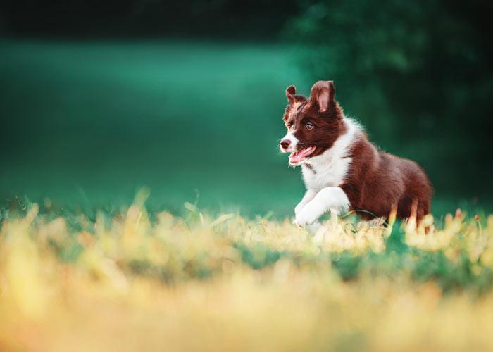 Wat kost een border collie puppy