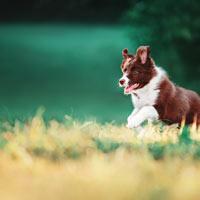 Wat kost een border collie puppy?
