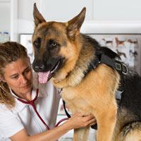 wat zijn de aanschaf en kosten van Duitse herdershond puppies