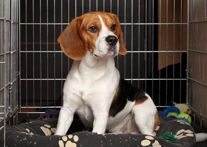 Kosten voor de aanschaf van een beagle puppy