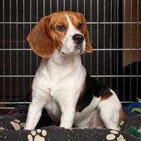 aanschaf en kosten van een beagle puppy