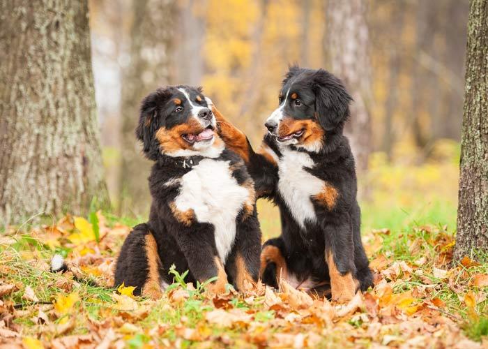 Wat kost een Berner sennen hond