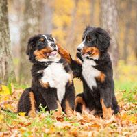 Wat kost een Berner sennen puppy in aanschaf en onderhoud?