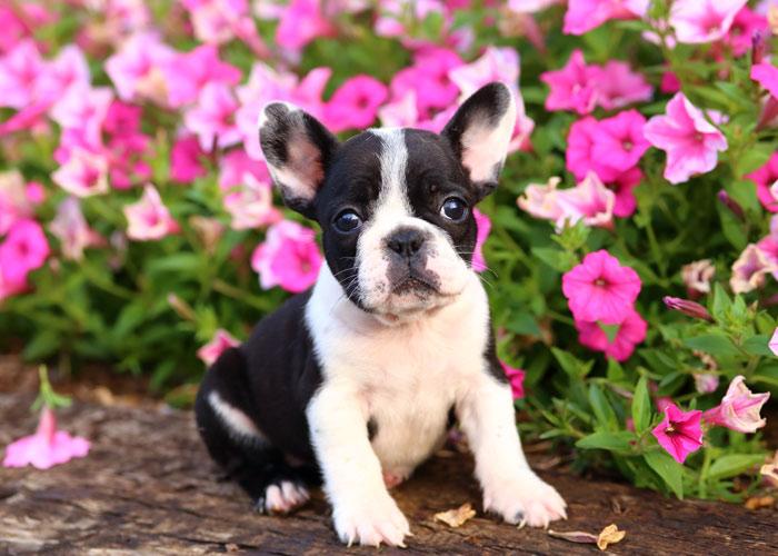 Een Franse bulldog puppy