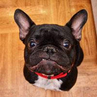 Voorgeschiedenis van de Franse bulldog