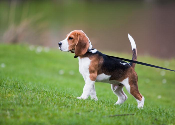 Algemene informatie over de beagle