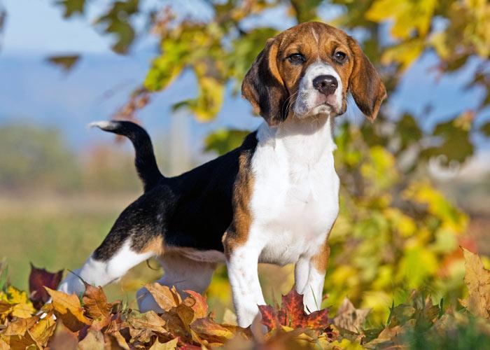 beagle hondenras