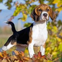 rasverenigingen voor beagles