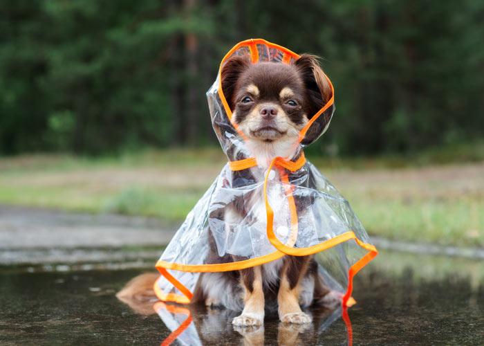 Chihuahua rasvereniging met evenementen kalender