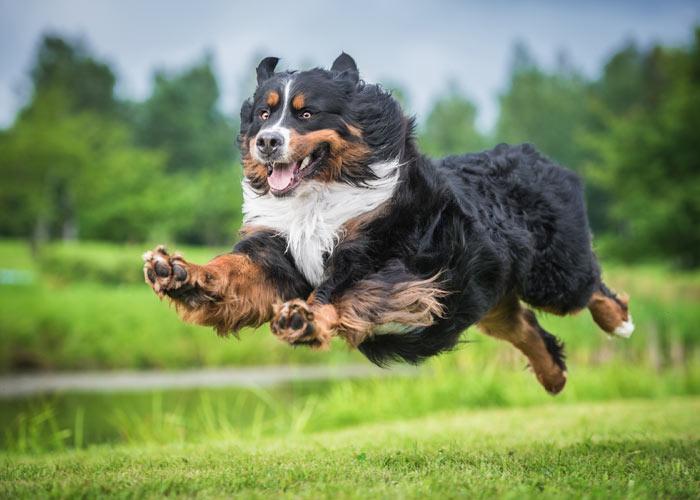 Actief springende Berner sennen hond