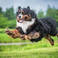 een-Actief springende Berner sennen hond
