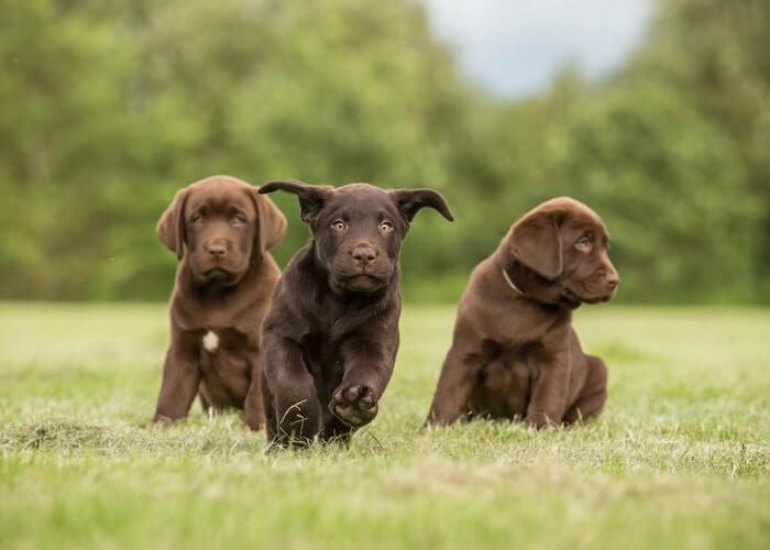 Fysieke en mentale uitdaging van labrador puppies