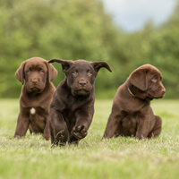 Fysieke en mentale uitdaging van de labrador