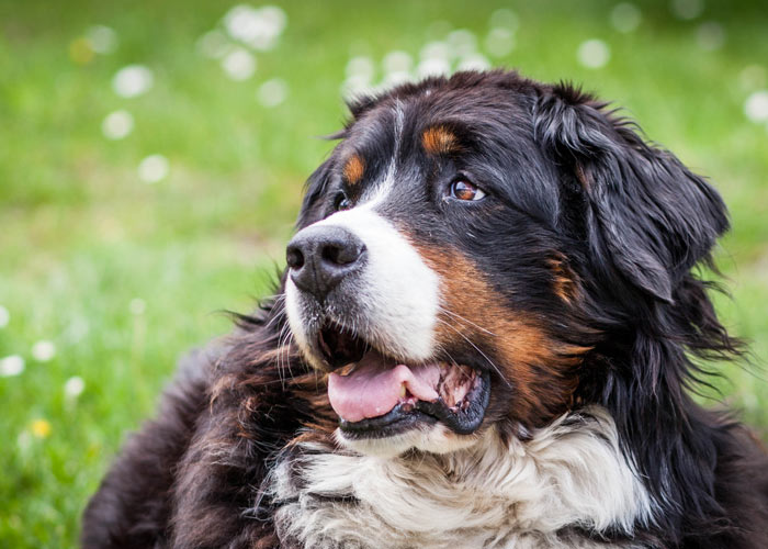 Het karakter van de Berner sennenhond