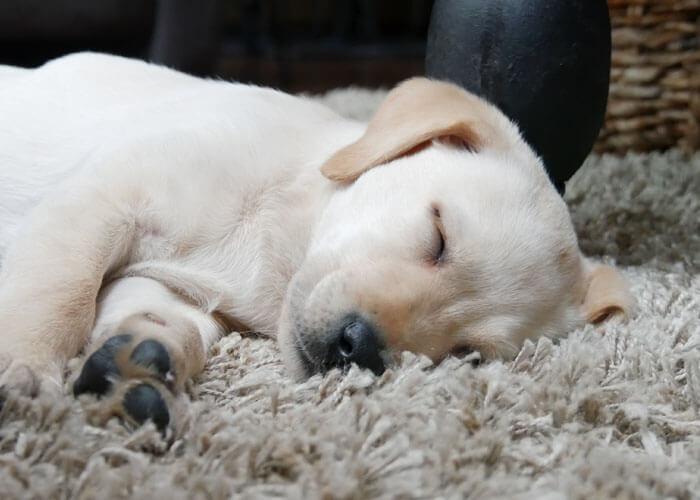Karaktereigenschappen van een labrador puppy