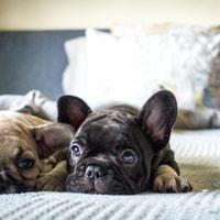Franse bulldog en zijn karakter