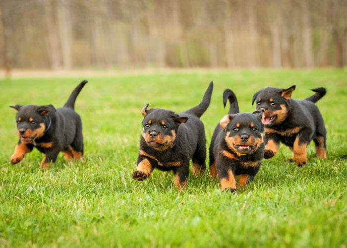 Het opvoeden van een rottweiler puppy