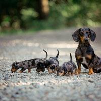 De opvoeding van een teckel puppy